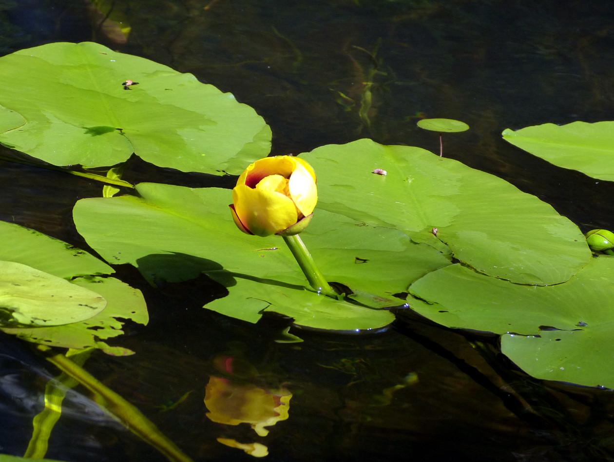 yellow-pond-lily-3_Irv-Dardic_20210622-181054_1